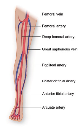 Leg artery anatomy