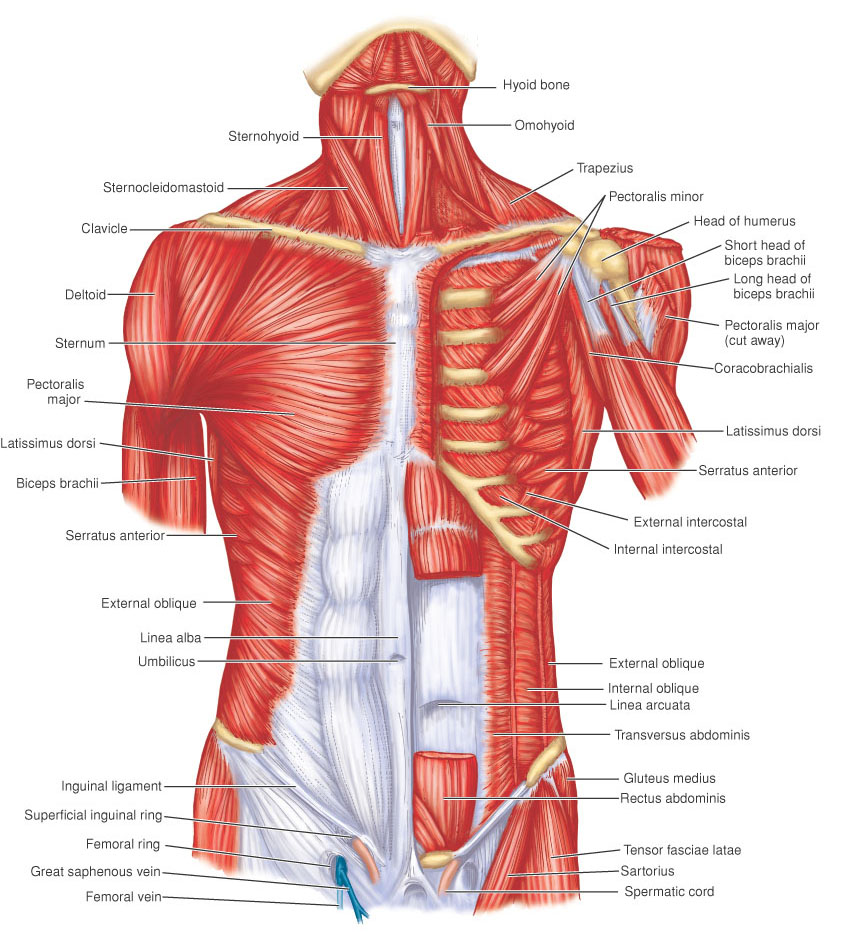 Suboccipital Triangle MusclesTriangularis Muscle